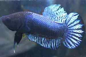 (Vvip!) Champion Bloodline Siam Combat Fighting Fish l Male Black Head Plakat