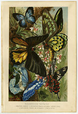 Antique Print-BUTTERFLY-DAY-PAPILIO HECTOR-Brehm-1892