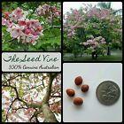 10+ APPLE BLOSSOM TREE SEEDS (Cassia javanica) Pink Shower Fast Growing Flower