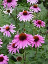 Graines de fleurs vivaces ,ECHINACEA PURPUREA