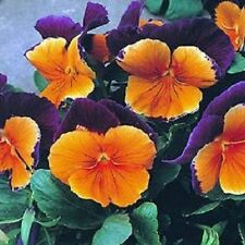 500 Pansy Seeds Jolly Joker Pansy Seeds BULK SEEDS