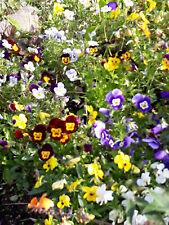 gelb Kiepenkerl Viola kleine Stiefmütterchen Samen Hornveilchen 944