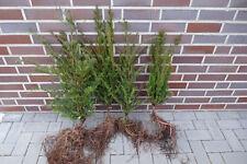 Eiben 50-80cm 1st. Taxus baccata Eibe Heckenpflanzen jede Stückzahl möglich