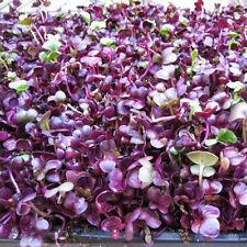 Heirloom Sango Purple Radish Sprouting Vegetable 100 Seeds The Best Microgreen