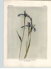 1934 Wildflower Book Plate Narrow Blue Flag & Blue-eyed Grass; Toadflax