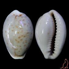Cypraea Naria boivinii, Taiwan, Cypraeidae sea shell