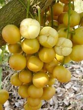 *UNCLE CHAN*5 seeds sweet Burmese grape fruit rare Baccaurea ramiflora tropical