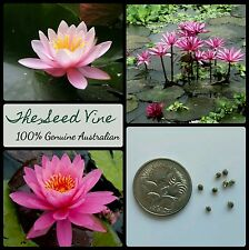 10+ PINK WATER LILY SEEDS (Nymphaea pubescens 'Pink') Aquatic Flower Ornamental