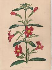 "1839  Antique Botanical Print - R. Buist's ""Red Monkey Flower""- Paxton Magazine"