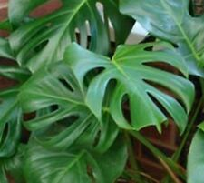 Monstera Deliciosa Plant x1 seedling, Not NT House Patio Shade Ornamental Plant