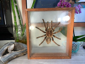 Vintage Huge Taxidermy Tarantula w/Fangs Natural Wood Frame RARE