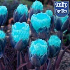 Tulip Flower Bulbs Perennial Resistant Stunning Rare Home Garden Balcony Bonsai