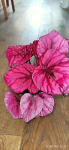 Begonia Rex Red Bull Young Plant 8 cm pot British Grown