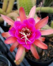 Hildewintera lilo- free plant rare plant