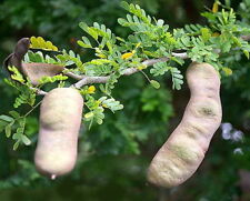New listing Fresh Texas Ebony Tree Seeds - 15 Seeds
