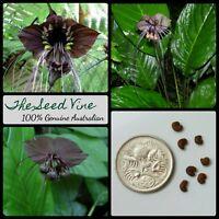 20+ BLACK BAT FLOWER SEEDS (Tacca chantrieri) Rare Tropical Fauna Garden