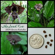 20+ BLACK BAT FLOWER SEEDS (Tacca chantrieri) Rare Tropical Fauna Garden