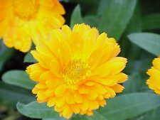 80 graines SOUCI JAUNE(Calendula Officinalis)H500 BON BON YELLOW MARIGOLD SEEDS