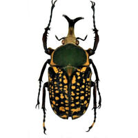 Megalorrhina harrisi procera f.harrisi 54-55mm,Pair,LARGE,UNMOUNTED beetle