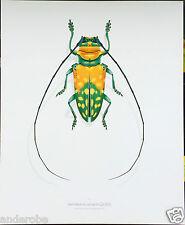Durin Print BIG Sternotomis LONGHORNED CERAMBYCID BEETLE Great For Framing! L@@K