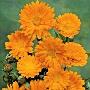 Pot Marigold Calendula Officinalis Orange King Appx 200 seeds