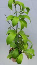 Hoya mindorensis superbra [B29J1],1 pot rooted plant20-22 inchesUnique!