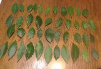 Organic Bay Leaves 42 Fresh picked leaves, Laurus Nobilis Laurel Herb