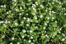 CHICKWEED  40 seeds culinary herb garden