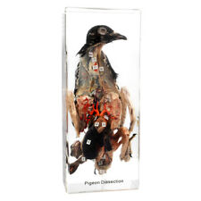 Pigeon Dissection in Acrylic Display-Dissection of a Pigeon Animal Specimen