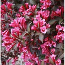 2 or 3 x 3L Pot T/&M Weigela Hardy Shrub Garden Plant /'Kosteriana Variegata/' 1