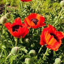 J/&J Tasmanian Alkaloids Poppy seeds papaver 1//4g ~500 seeds