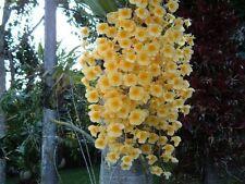 Orchid plants Dendrobium Aggregatum Orchid Species