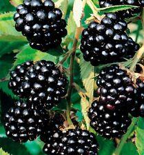 100 SEEDS BLACK BERRY RARE HEIRLOOM ORGANIC WILD FRUT sweet taste
