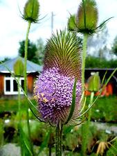 Distel Karde (Dipsacus) Wurzel, Borreliose, Zecken, lila Blüten, Dekoration