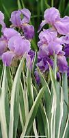 "Iris VARIEGATED - Purple Rare 1 PLANT - 6+""TALL 1 Small Plant . Pot 3.5"""
