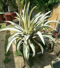 Agave Full Sun Cactus & Succulent Plants