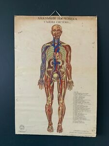 Vintage Medical Vascular Anatomy Poster Wall Board 1960's