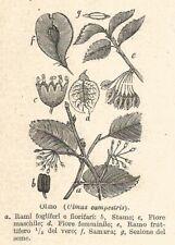 B4013 Olmo - Ulmus campestris - 1929 xilografia - Vintage engraving - Gravure