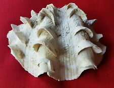 Vintage FRILLY SEA CLAM SHELL. 17×12 CM. RARE