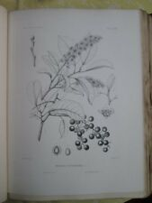 Vintage Print,PLATE 158,CHOKE CHERRY,Silva,Trees,1st Ed,c1900
