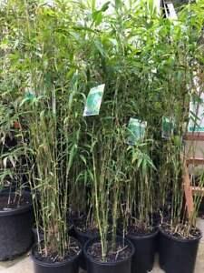 Bamboo Plant, Nepalese Blue,hedging,screening