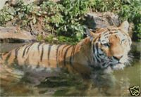 "Tiger In Water Complete Counted Cross Stitch Kit 16""x11 Free P&P"