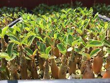10 Adenium Obesum Plants - Desert Rose  Mixed Colors Pre Bonsai Succulent Caudex