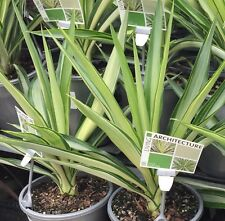 SILVER STAR Yucca variegated strappy plant in 180mm pot