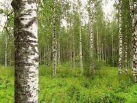 100 Birkensamen, Birke, Betula pendula alba, Samen, Weissbirke, Hängebirke