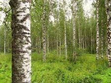 250 Birkensamen, Birke, Betula pendula alba, Samen, Weissbirke, Hängebirke