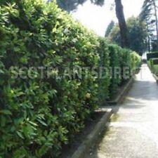 Evergreen Shades