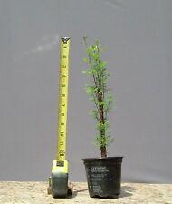 Bonsai Tree, Bald Cypress, Taxodium distichum, Live tree, Starter tree