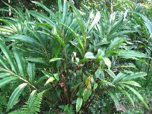 5 CARDAMOM CARDAMON Alpinia Oxyphylla Flower Herb Seeds