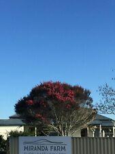 Pink Manuka - 500 seeds - Leptospermum scoparium - from New Zealand